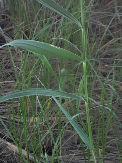H25_5_25片葉の葦