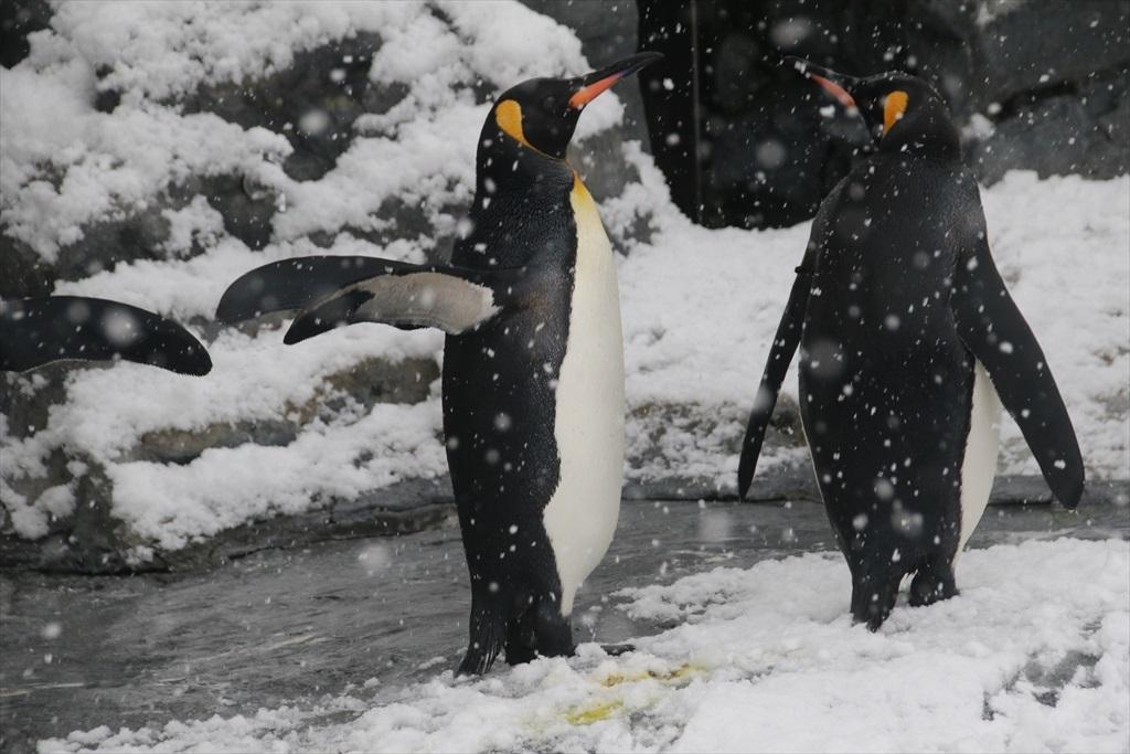 キングペンギン_4