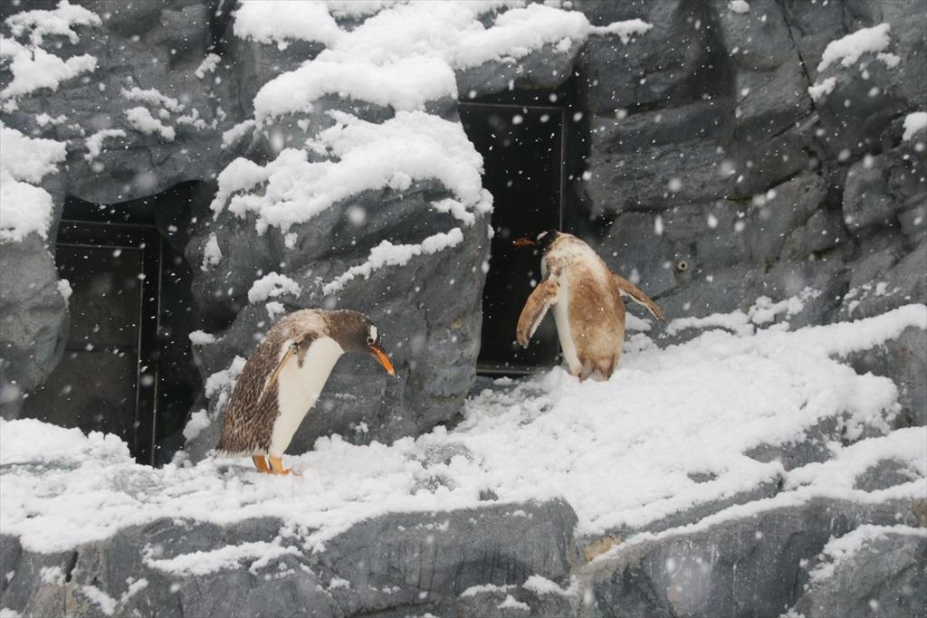ジェンツーペンギン_1