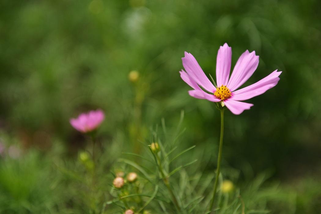 咲き誇るコスモス