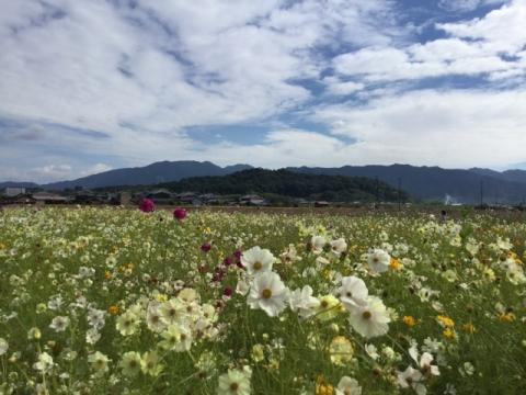 天香具山と白いコスモス