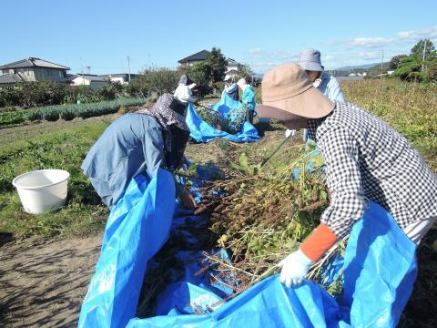 エゴマの収穫1