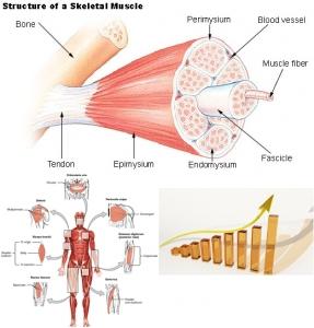 Illu_muscle_structure (1)