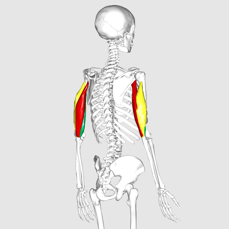 768px-Triceps_brachii_muscle02.png