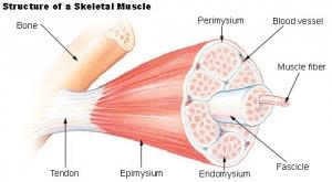 Illu_muscle_structure.jpg