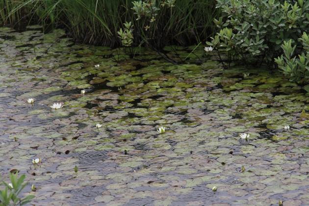 20160713池塘に咲くヒツジグサ