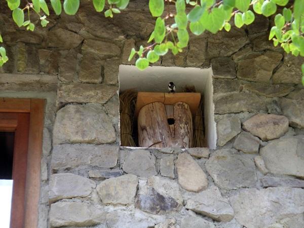 シジュウカラ巣箱で子育て