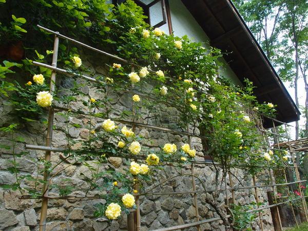 西側のバラのフェンス