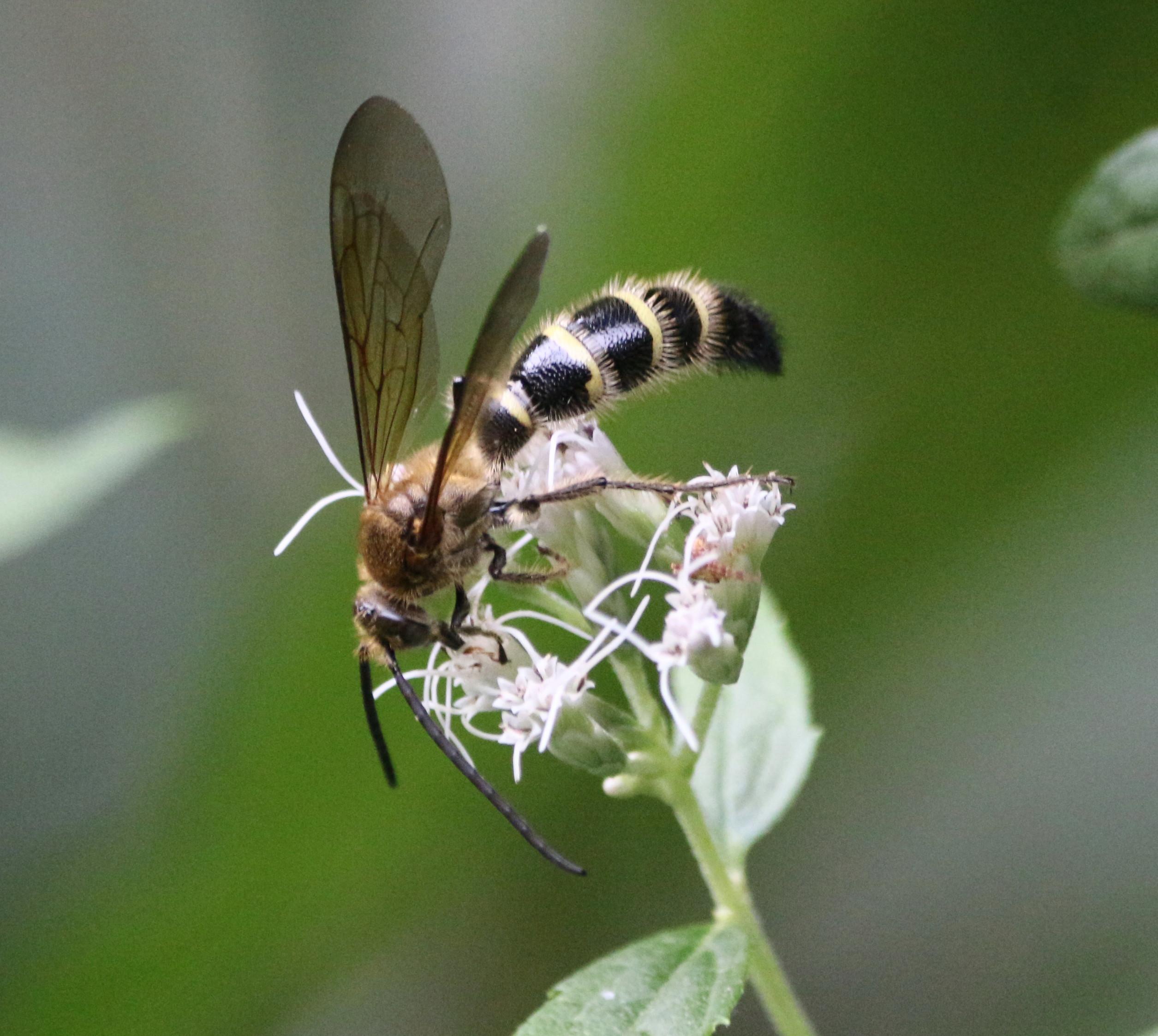 10-18ハラナガツチバチ