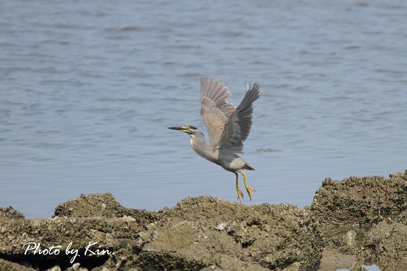 干潟での鳥見 ~ササゴイ~