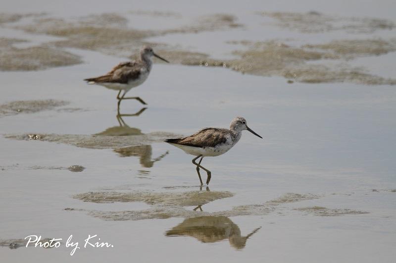 干潟での鳥見 ~アオアシシギ~