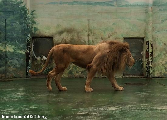 ホワイトライオン_130