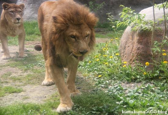 ライオン_1277
