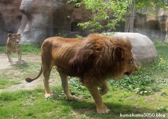 ライオン_1278