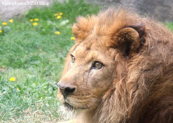 ライオン_1283