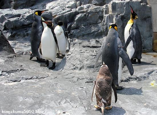 キングペンギン_31
