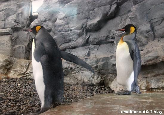 キングペンギン_32