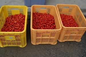160830雨で割れたトマト3アーチ分
