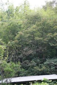 160927栗の木とトタン屋根