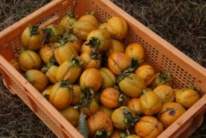 161011採れた柿