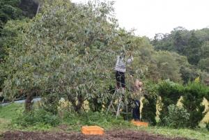 161011親子で柿採り1