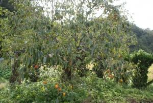 161011裏庭の柿木