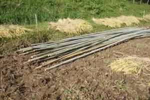 161014ハデ場の竹