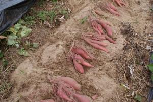 161019池のそばの圃場で試し掘り1