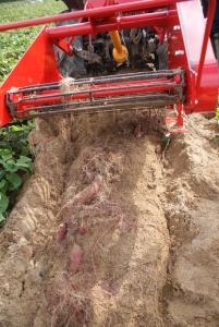 161026芋ほり機で掘る2