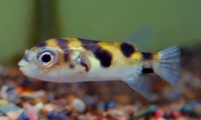 南米淡水フグ