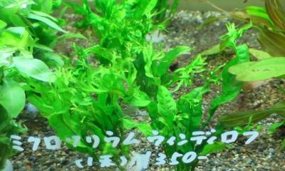 ミクロソリウム・ウェンディロブ