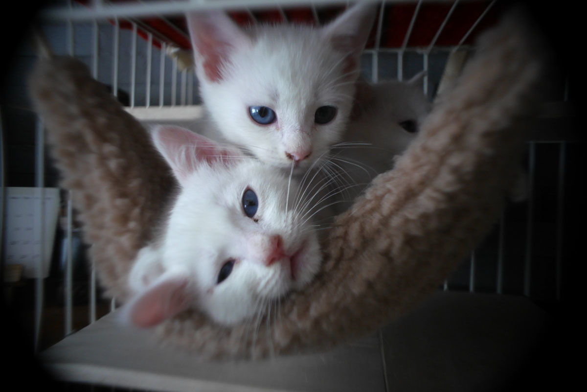 白猫3匹を保護しました
