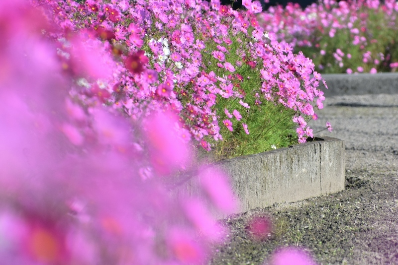風の吹く日は秋桜日和