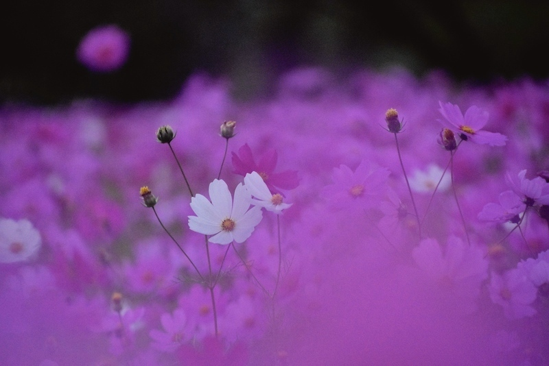 夜明けの秋桜と夕焼け