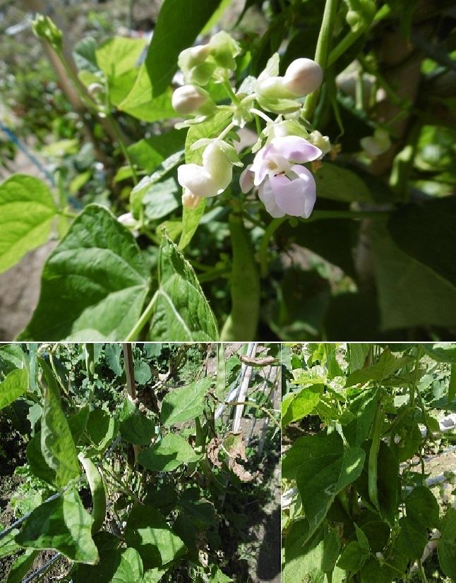三度豆の花と実