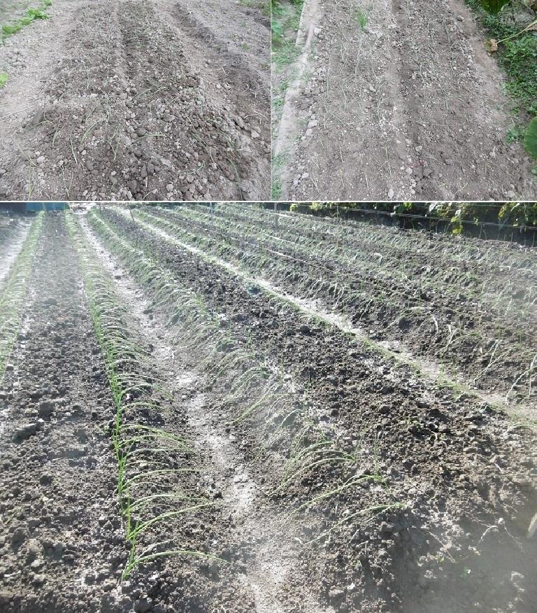 玉ねぎの植え付け2