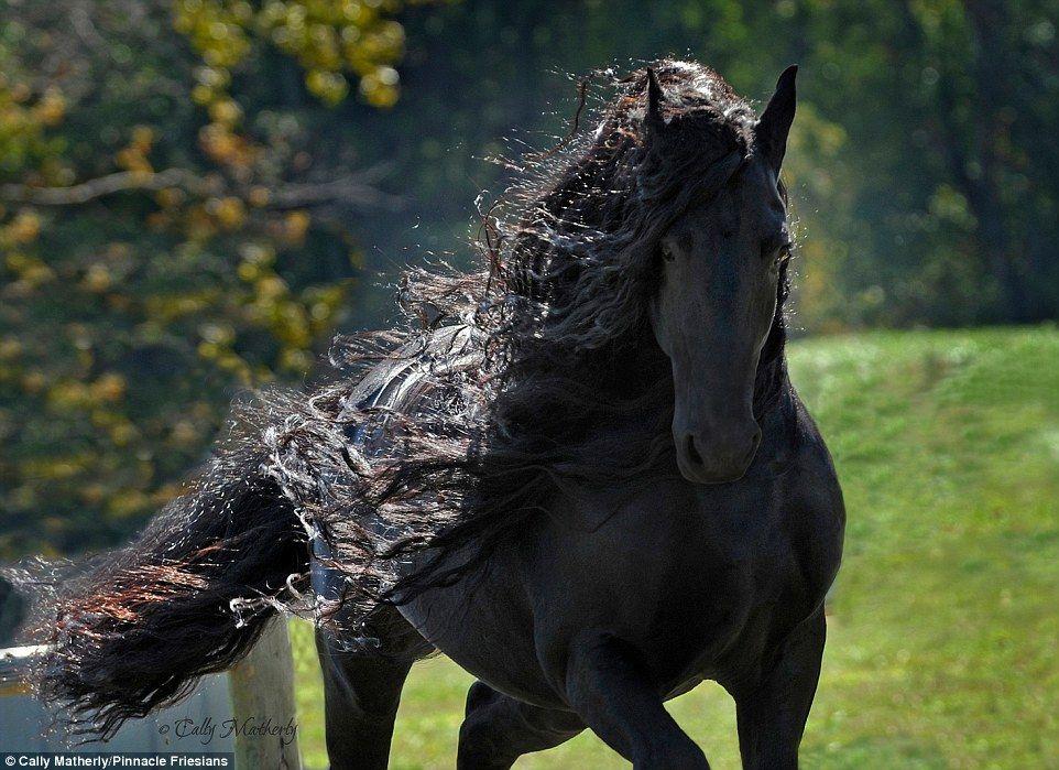 【凛々しい】まるで黒い彫刻 「漆黒の馬」が格好良すぎと、海外で話題に!