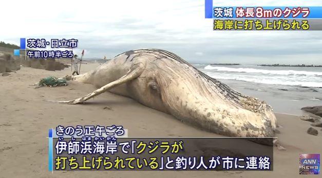 【前触れ】茨城・日立市の海岸に11メートルの「ザトウクジラ」が打ち上げられる!