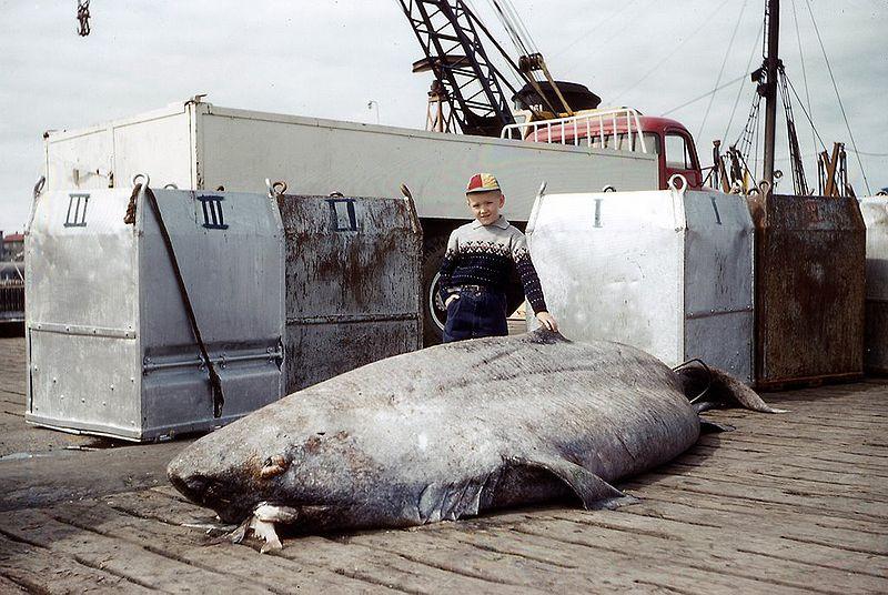 北極海に「400年」ほど生きているサメが存在した…脊椎動物で最長寿「ニシオンデンザメ」
