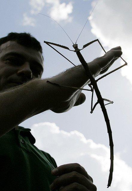 中国で「巨大なナナフシ」が見つかる!全長62.4センチ、世界最長の昆虫と認定