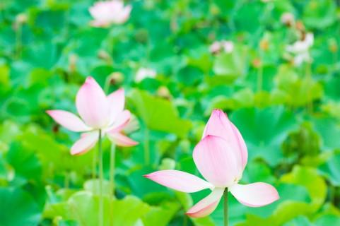 【原因不明】滋賀県内で「ハスの花」が姿を消す…過去にない異変「一体何が起きたんやろう、と。こんなことは初めて」