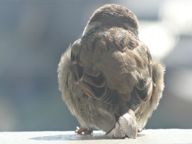 福島県いわき市で「スズメ」250羽が死んでいるのが見つかる…鳥インフルエンザは陰性、原因は「強風」で飛ばされたから...?