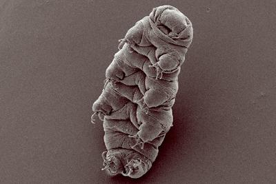 最強生物「クマムシ」 強い放射線からDNAを守る遺伝子を持っていることが判明