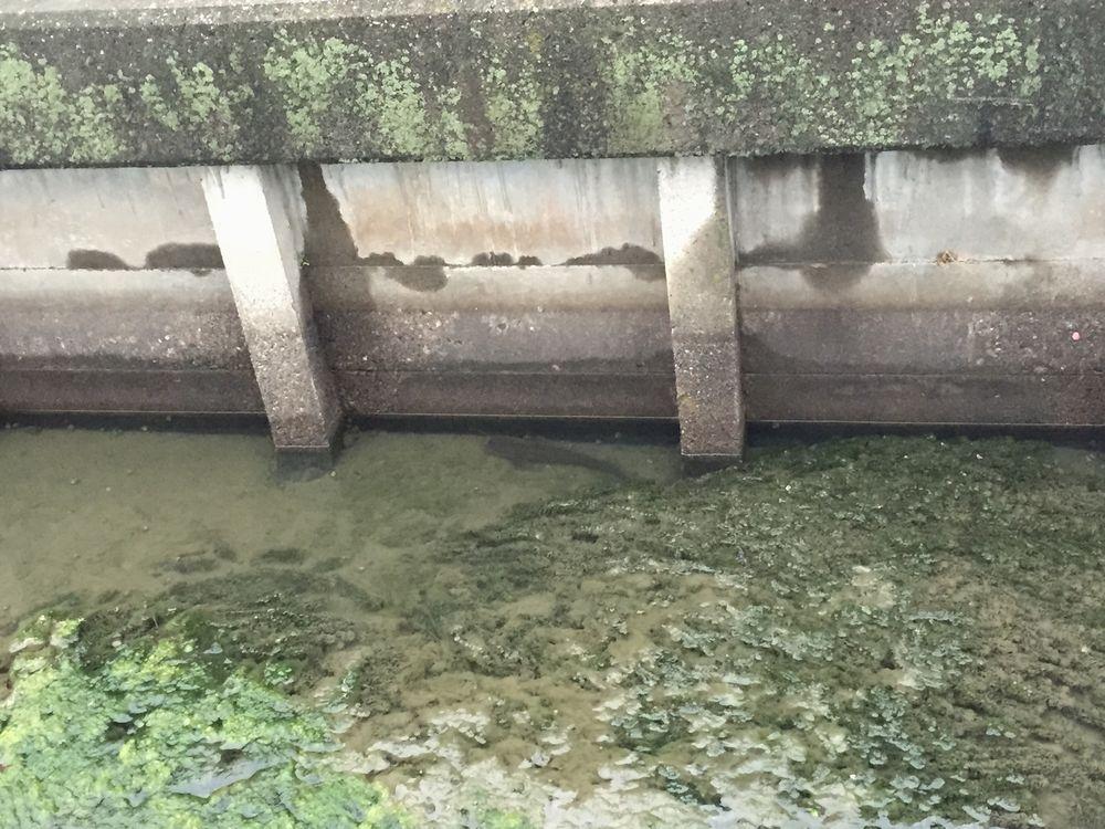 【徳島】川にたくさんの「ナマズ」がいるのを目撃…地震とナマズの関係