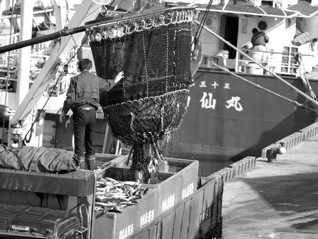 スルメイカと秋鮭が記録的な不漁になり、マイワシとサバは「謎の大漁」…漁師「こんなに取れないのは初めて」日本の近海で異変か