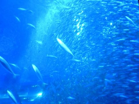 【レジームシフト】不漁続きだった「イワシ」に異変が…今度は突如、増加か?海洋環境に変化