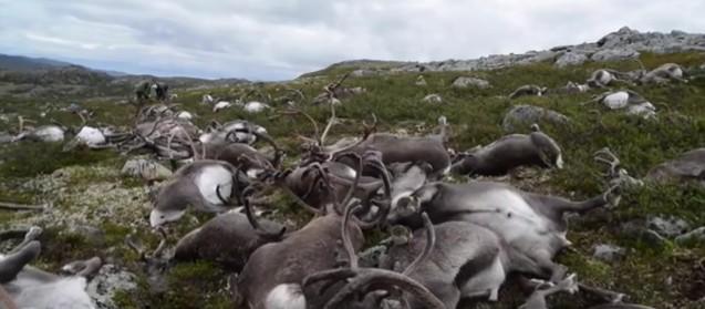 ノルウェーで「トナカイ300頭以上」が落雷に打たれ、一斉に倒れる…ヨーロッパ最大の生息地であるハダンゲルビッダ高原