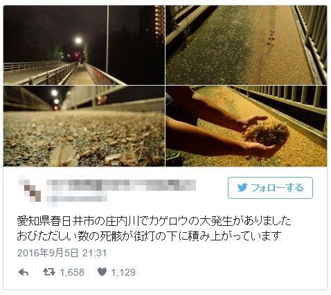 【愛知】「カゲロウ」と思われる羽虫が大量発生…橋を塞ぎ、降り積もる