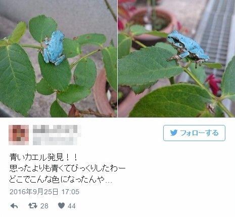 埼玉県内で8月以降「青いカエル」の発見が相次ぐ、突然変異か?「ずっとここに住んでるが初めて見た」