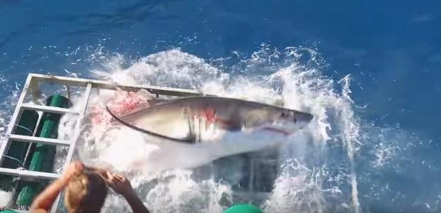【メキシコ】ホホジロザメがダイバーのいるケージに突入!(動画あり)